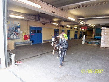 2 jährige Mustangstute Abholung Flughafen