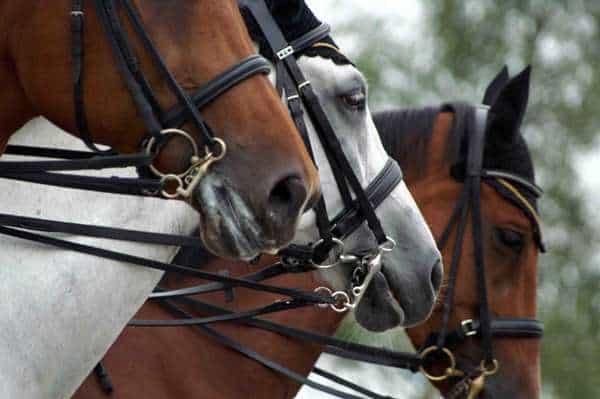 CHIO Gebissstudien glückliche Pferdegesichter?