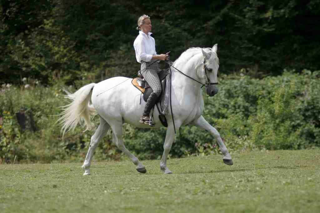 Dressur Pferd ohne Gebiss