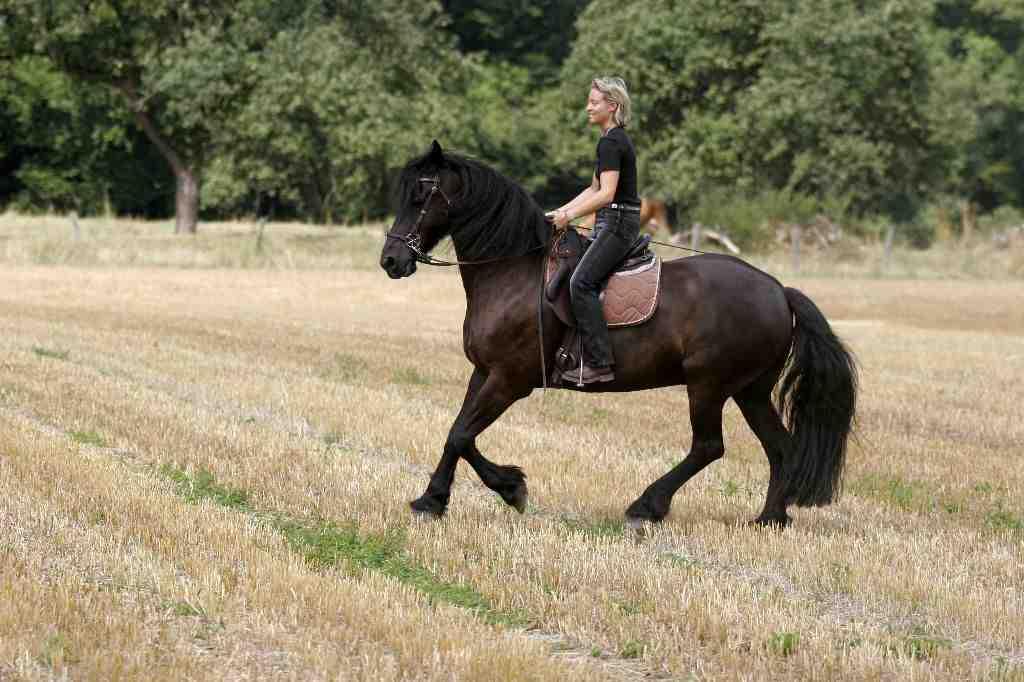 Friese reiten ohne Gebiss