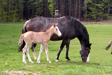 Hanta Yo und ihr Mustang Sorraia Fohlen