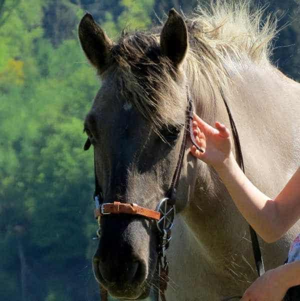 Kopfstück LG-Zaum am Pferd