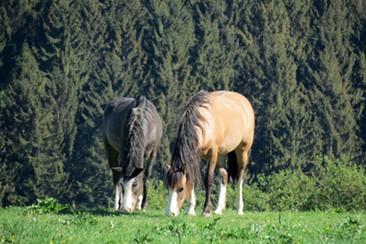 Mustang Mutter und Tochter 2018