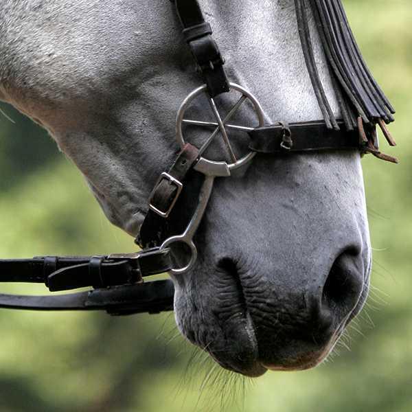 Pferd, Zungenabriss: Erfolg,Turnierteilnahme mit LG-Zaum