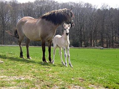 Sorraiafohlen und Mutter
